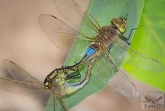 Anax ephippiger ( BlezSP) Tags: dragonflies libelulas odonata zygoptera anisoptera macro vagrant emperor anax hemianax ephippiger aeshnidae