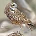 Burrowing owl (pakart62) Tags: