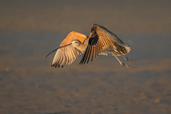 Partial Coverage (gseloff) Tags: longbilledcurlew bird flight bif beach mudflat nature wildlife bolivarflatsshorebirdsanctuary bolivarpeninsula galvestoncounty texas gseloff