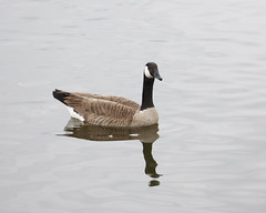 _28A3285c (Ronald the Bald) Tags: northwest park irving texas canadian goose