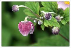 Pink Anemone (Manoo Mistry) Tags: anemone flowers closeup bokeh parks garden tamron18270mmzoomlens tamron nikond5500