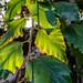River Birch Leaves 01