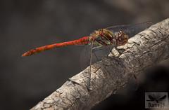 Sympetrum nigrifemur ( BlezSP) Tags: dragonflies libelulas odonata zygoptera anisoptera macro libelula canaria endemica endemismo sympetrum nigrifemur libellulidae