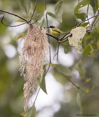 Black-headed Tody-Flycatcher next to its nest (sbuckinghamnj) Tags: bird costarica flycatcher todyflycatcher blackheadedtodyflycatcher laselva