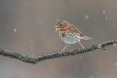 Fox Sparrow (Joe Branco) Tags: green ontario macro bird nature branco photoshop wildlife joe lightroom naturephotography birdphotography wildlifephotography nikond850 nikon foxsparrow joebrancophotography