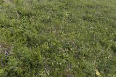 Cypripediums... everywhere! (ab_orchid) Tags: native orchid species cypripedium yatabeanum alaska
