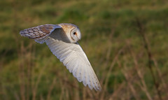 Eagland Owl (Caleb4Ever) Tags: eaglandhill pilling barnowl owlinflight birdinflight raptor owl bif nature wildlife l