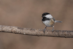 Chickadee (Lynn Tweedie) Tags: wood bokeh beak tail wing canon ngc animal missouri chickadee bird 5dmarkiv tree eye eos feathers sigma150600mmf563dgoshsm branch