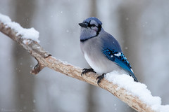 Blue jay (NicoleW0000) Tags: bluejay jay bird naturephotography snow snowing winter branch woods forest