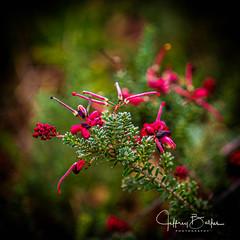 Wildflower macro (Jeffrey Balfus (thx for 6 Million views)) Tags: sonya9 ilce9 fe2470mmf28gm sel2470gm wildflower macro depthoffield dof shallowdof smoothbokeh bokehoftheday bokehicilous bokeh