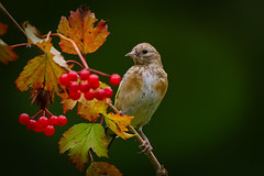 Juvenile Eurasian Goldfinch (carduelis carduelis ) - Young beauty and the berries !! (Clive Brown 72) Tags: elements bird wildlife woodland parkland berries perched wales finch autumn goldfinch