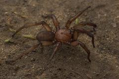 Trapdoor spider (antonsrkn) Tags: aptostichus trapdoorspider arachnid mygalomorph spider berkeley contracosta california ca wildlife macro