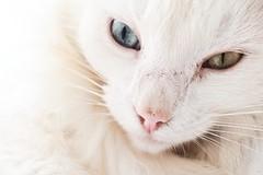 (ivicachem84) Tags: cat whitecat animal closeup eyes beautifuleyes