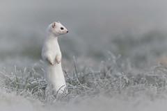 Hermelin 20027 (bertheeb) Tags: hermelin wildtiere wiesel nikon d850 500mmvr