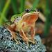 the Alpine Tree Frog (Rob Valentic - Gondwana Reptile Productions) Tags: alpinetreefrog litoriaverreauxiialpina snowymountains lakeeucumbene frogsofaustralia frogsaustralianhighcountry treefrogs hylidae canoneos5dmarkiv laowa 10028 laowa100282xmacro 21macro apo
