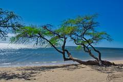Crawling Tree (Kirt Edblom) Tags: maui mauihawaii hawaii beach scenic serene sand gaylene wife water waves waterscape milf tree trees tropical pacific pacificocean ocean green blue bluesky bluewater landscape seascape kirt kirtedblom edblom luminar nikon nikond7100 nikkor18140mmf3556