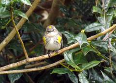 Watching The Watcher (ChicaD58) Tags: dscf0538a yellowrumpedwarbler warbler butterbutt hollybush watchingthewatcher backyard winter