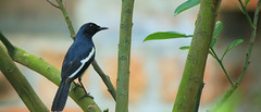 Oriental magpie-robin (khoitran1957) Tags: bird nature wildlife wide widescreen ultrawide 219