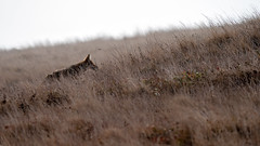 Coyote 170 (lennycarl08) Tags: coyote animalplanet wildlife pointreyesnationalseashore