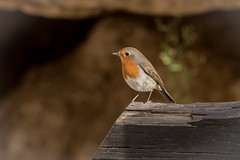 Robin (katyarud) Tags: bird erithacusrubecula europeanrobin israel sdeboker зарянка сдебокер птица птицы אדוםהחזה ישראל ציפור שדהבוקר