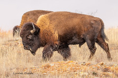 American bison (Lindell Dillon) Tags: bison buffalo wildlife nature wichitamountains oklahoma wildoklahoma