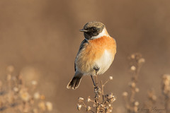 Saltimpalo (Simone Mazzoccoli) Tags: natura nature wild wildlife bird birds birdwatching ornithology stonechat bokeh background winter sunrise canon colors