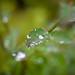 Water drops on a leaf (s.d.sea) Tags: pentax pentaxk1ii k1ii nature plants washington washingtonstate wa pnw pacificnorthwest summer macro water drops beads drop leaf green detail