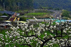 Plum tree in the village (mattlaiphotos) Tags: flower blossom plant flora botanic village bloom taiwan scenery countryside rural rurality country orchard