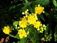 Kalanchoe (M.P.N.texan) Tags: kalanchoe succulent plant flower flowers flowering bloom blooms blooming yellow