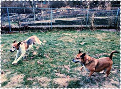 """""""We don't stop playing because we grow older, we grow older because we stop playing"""" (Warren Gates) Tags: dogs foxhound mixedbreed"""