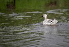 Snow Goose (ap0013) Tags: snow goose snowgoose bird animal nature wildlife migratory waterfowl myakka river state park sarasota florida myakkariver statepark sarasotaflorida