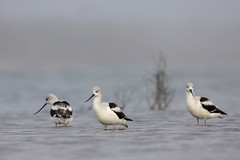 American Avocet (Greg Lavaty Photography) Tags: americanavocet recurvirostraamericana texas january matagorda matagordacounty outdoors bird nature wildlife