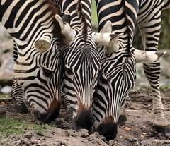 grant zebra Burgerszoo BB2A0315 (j.a.kok) Tags: animal africa afrika mammal burgerszoo zoogdier dier herbivore zebra grantzebra specanimal