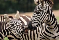 grant zebra Burgerszoo BB2A0529 (j.a.kok) Tags: animal africa afrika mammal burgerszoo zoogdier dier herbivore zebra grantzebra specanimal