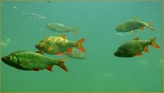 Rotfedern / Common rudd (ursula.valtiner) Tags: fische fish rotfeder commonrudd nationalparkzentrum nationalparkcenter schlossorthanderdonau donau danube niederösterreich loweraustria austria autriche österreich