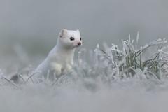 Hermelin 20013 (bertheeb) Tags: hermelin wildtiere wiesel nikon d850 500mmvr