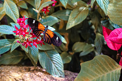 Postman Butterfly and Flowers (Stephen G Nelson) Tags: insect butterfly postman flower botanicalgarden tucson arizona