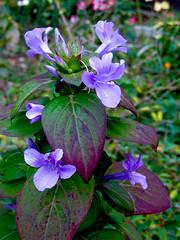 Phiippine Violet (M.P.N.texan) Tags: philippineviolet plant flower flowers flowering bloom blooms blooming purple