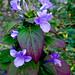 Phiippine Violet