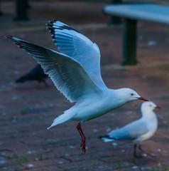 DSC00277 (Damir Govorcin Photography) Tags: bird animal flight sony a9 100mm stf lens natural light capture