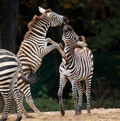 grant zebra Burgerszoo BB2A0354 (j.a.kok) Tags: animal africa afrika mammal burgerszoo zoogdier dier herbivore zebra grantzebra specanimal