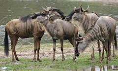 gnu Burgerszoo BB2A0450 (j.a.kok) Tags: animal africa afrika mammal burgerszoo zoogdier dier herbivore gnoe gnu antilope
