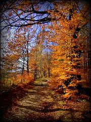 Golden Walk, Sächsische Schweiz, DE [explored] (André-DD) Tags: fall autumn herbst fallfoliage foliage bäume baum tree trees laubfärbung laub goldenernovember golden sun sonne walk hike wanderung spaziergang saxonswitzerland saxony sachsen sächsischeschweiz nationalpark