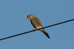 K32P6139a Kestrel, Burwell Fen, December2019 (bobchappell55) Tags: burwellfen cambridgeshire wild bird birdofprey nature wildlife kestrel falcotinnunculus
