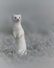 Hermelin 20028 (bertheeb) Tags: hermelin wildtiere wiesel nikon d850 500mmvr