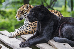 The two jaguars together (Tambako the Jaguar) Tags: big black cat couple d5 feline female győr hungary jaguar jaguaress lying male nikon platform portrait posing profile together two wild zoo