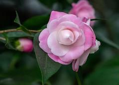 Kamelie (to.wi) Tags: towi wilhelma botanik blume flower makro macro blüte blossom kamelie sony ilce7m2 alpha7 alpha7ii