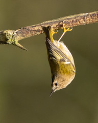 Goldcrest (jillyspoon) Tags: bird branch upsidedown sony small goldcrest birdphotography barhill sonya7iii springwatch