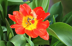 Tulip Macro (abrideu) Tags: abrideu canoneos100d macro tulip flower depthoffield bright bokeh bouquet red ngc npc