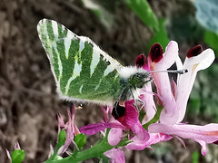 Euchloe belemia (Pedro Muñoz Sánchez) Tags: euchloe belemia mariposa butterfly macro macrofotografía nature colors blanquiverde bahía de cádiz
